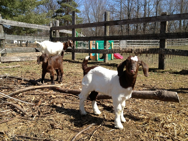 "Pippy and Pierre pose for the camera. All of our goats are uniquely identifiable by their markings, like Pippy's ""long stocking."""